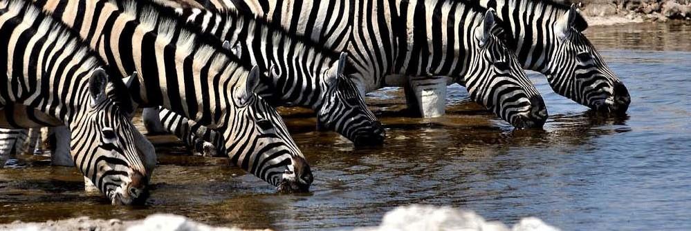 cropped-Zebra-drinking.jpg